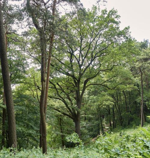 Baum am Falkensteiner Höhenweg