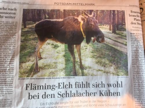 Elch in Brandenburg