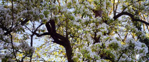 Birnbaumblütenprachtpanorama