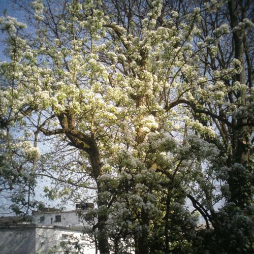 Blühender Birnbaum in meinem Hof