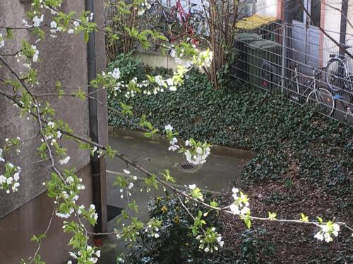 Mein Kirschbaum - Über Nacht die ersten Blüten