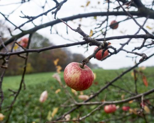 Letzte Äpfel am Feldrand