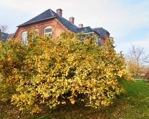 Herbstlicher Quittenbaum vor dem Falsterhus