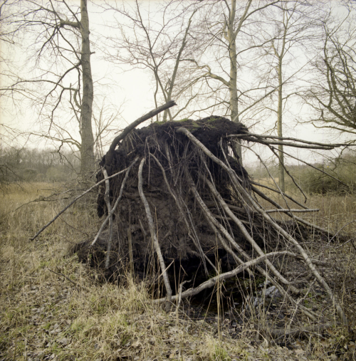 Baumwurzel ausgerissen im Donnemose bei Tunderup auf Falster