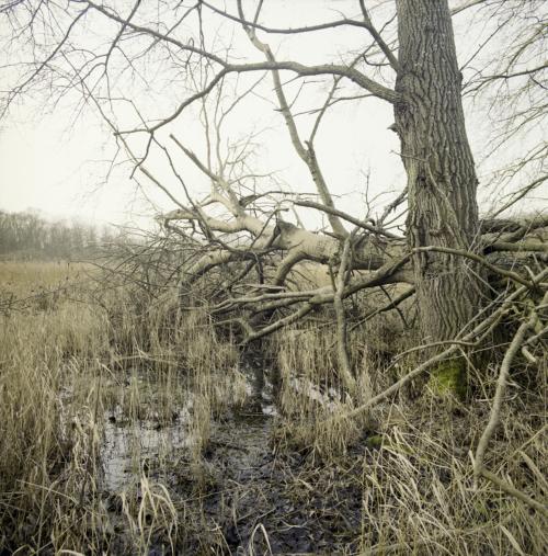 Umgestürzter Baum im Donnemose bei Tunderup auf Falster