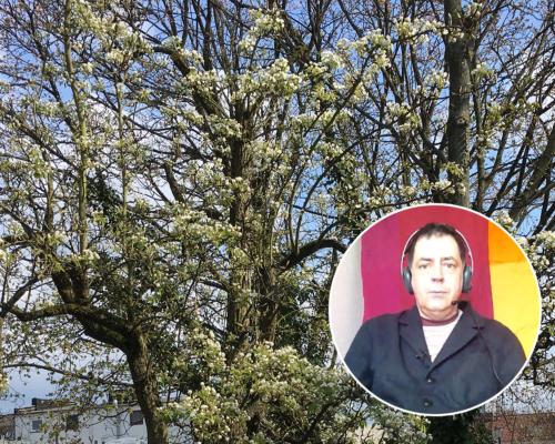 Blühender Birnbaum bei Kälte