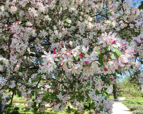 Kirschblüte auf der Freundschaftsinsel